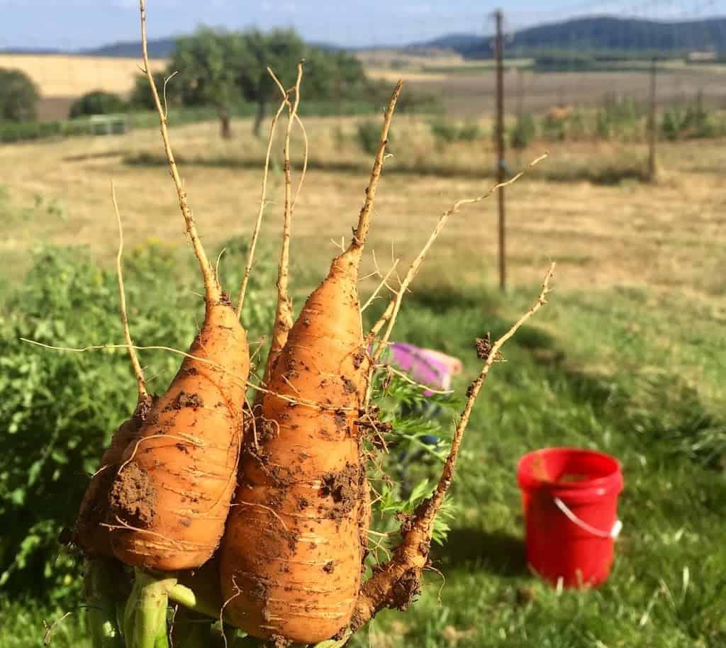 Freshly harvested carrots from garden