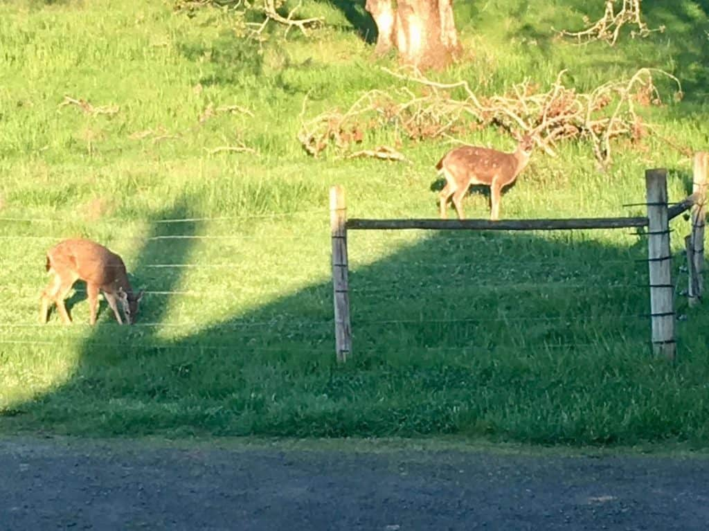 two deer exploring on a farm